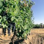 Situación de la vitivinicultura mundial en 2013